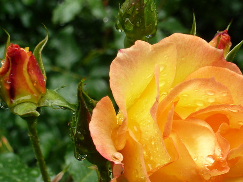 ~ Yellow Mix Roses in Rain ~