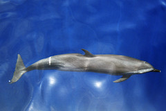 porpoise(0.0), short-beaked common dolphin(0.0), animal(1.0), marine mammal(1.0), common bottlenose dolphin(1.0), marine biology(1.0), dolphin(1.0), spinner dolphin(1.0), stenella(1.0), rough-toothed dolphin(1.0), tucuxi(1.0),