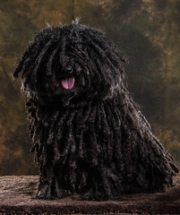 lagotto romagnolo(0.0), portuguese water dog(0.0), newfoundland(0.0), dog breed(1.0), animal(1.0), dog(1.0), pet(1.0), bouvier des flandres(1.0), bergamasco shepherd(1.0), puli(1.0), spanish water dog(1.0), barbet(1.0), carnivoran(1.0),