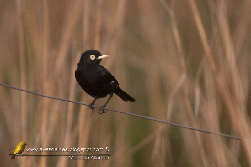Pico de plata (Spectacled tyrant) Hymenops perspicillatus