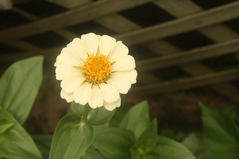 creamy yellow zinnia