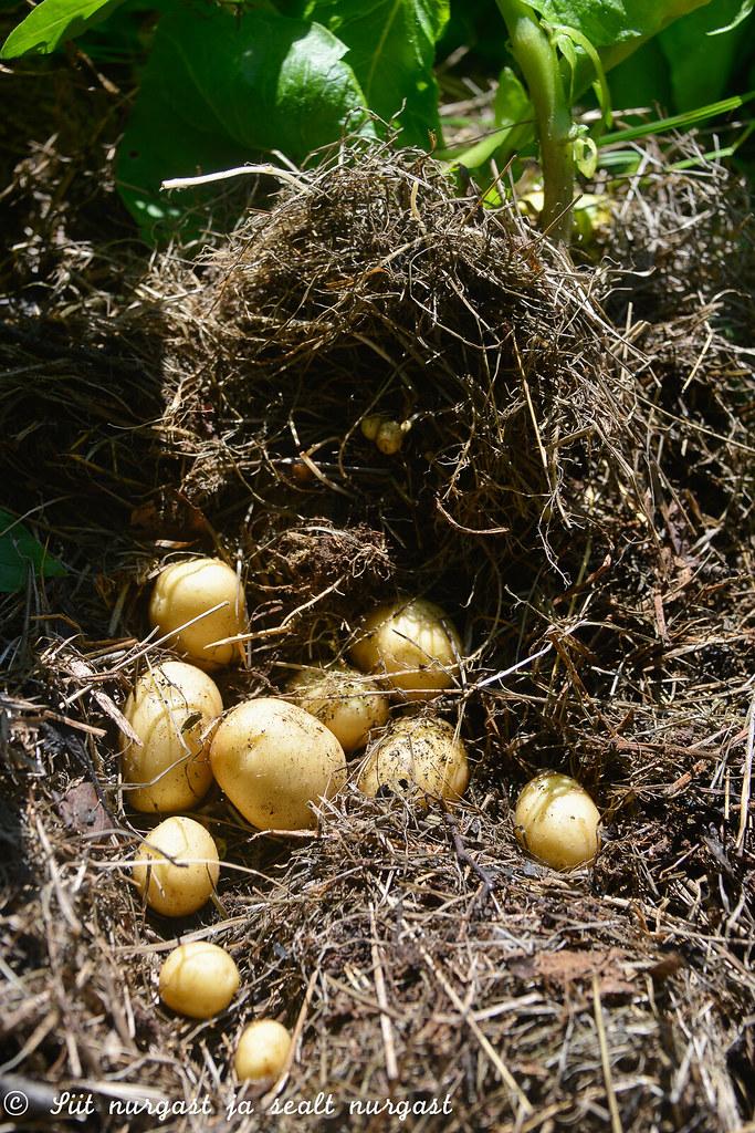 värske kartul