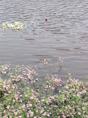 Trefoil flowers in the mississippi river