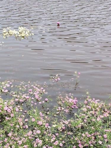 Trefoil flowers in the mississippi river