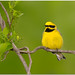 Lawrence's Warbler (Hybrid of Golden-winged & Blue-winged Warblers) by BN Singh