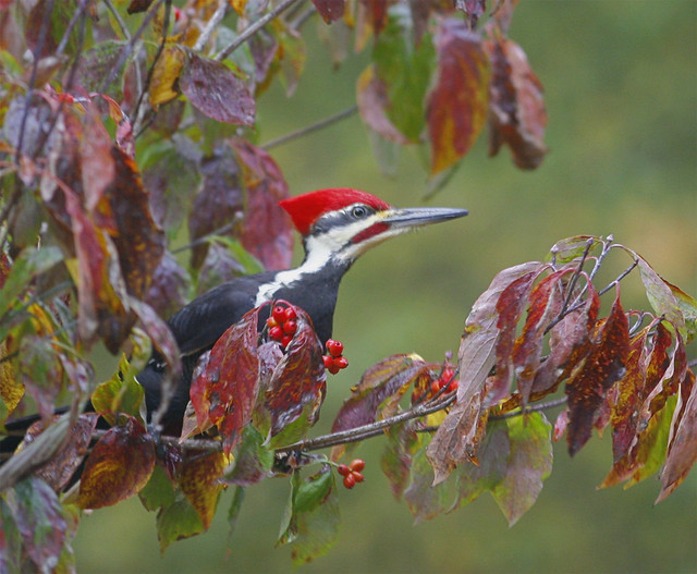 Pileated-Woodpecker-53w