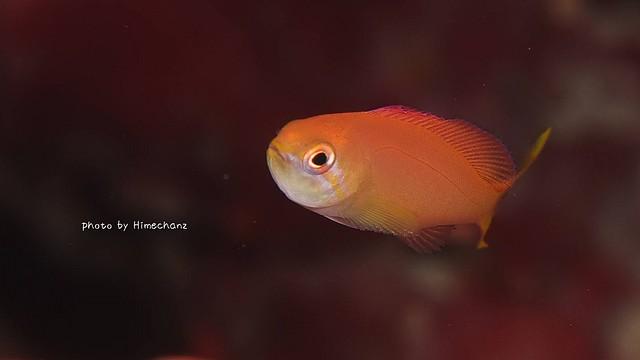 アカネハナゴイ幼魚♪