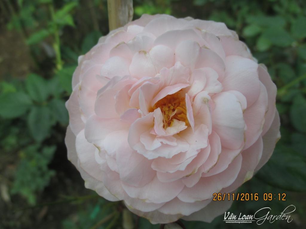 gentle hermione rose (1)-vuonhongvanloan.com