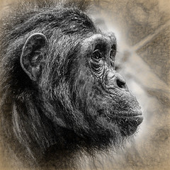 Chimps of Mahale - Quilty