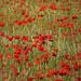 20150704_10 A field of poppies & wheat - closer zoom, portrait orientation | Ekstakusten, Gotland, Sweden by ratexla