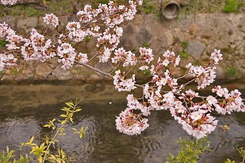【写真】2013 桜 : 哲学の道/2018-12-24/IMGP9232