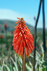 flower, red, nature, xanthorrhoeaceae, flora, close-up, plant stem,