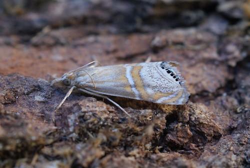Euchromius bellus