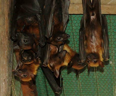 食果蝙蝠是生態環境中不可或缺的授粉及種子傳播物種,但卻也是許多病毒的帶原宿主,因此維持良好的棲地環境才是維持生態平衡及預防新興疾病發生的良好對策(陳貞志提供)