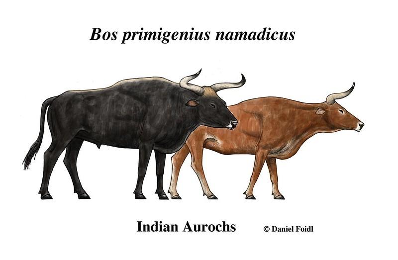 the breeding back blog the indian aurochs breeding back with zebus