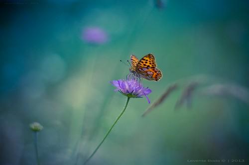 Blue Moon Butterfly part II [explored]