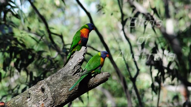 Video - Australian Birds 2 - Rainbow Lorikeets
