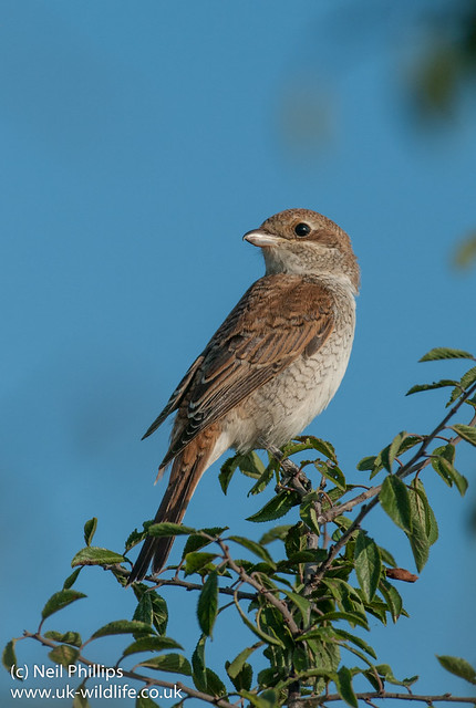red backed shrike-10
