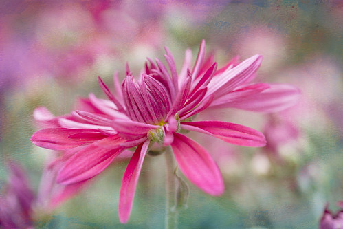 Pink Bokeh~ by conniee4 aka Connie Etter