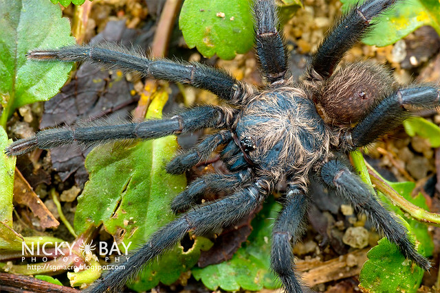 Brush-Footed Trapdoor Spider (Barychelidae) - DSC_7682