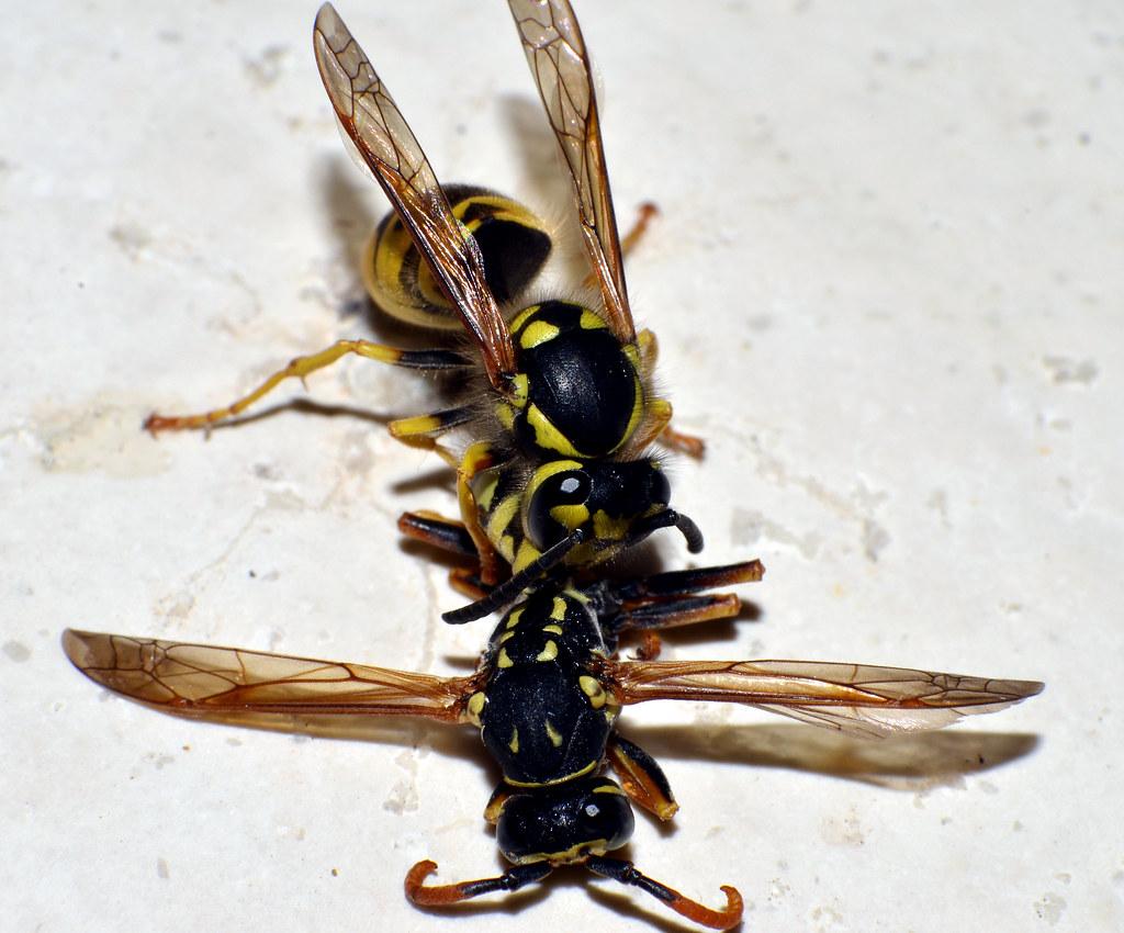Cannibal Wasp