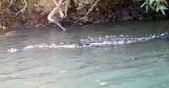 Morelets Crocodile (4)