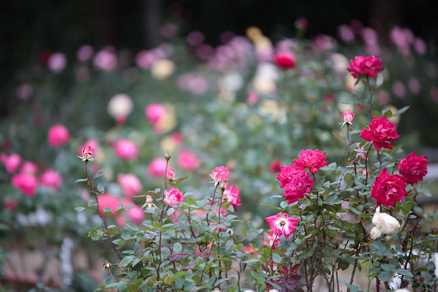 伊奈町制施行記念公園のバラ 2013秋