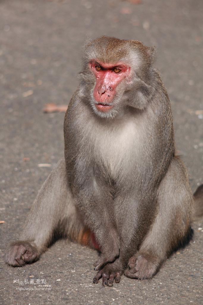 台南私藏景點-南化烏山獼猴 (18)