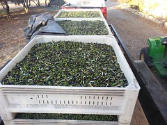 Olive Harvest November 2013 by Wayne Sherman (5)