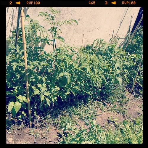 #tomates al #sol #tomaco y algún #morrón colado jeje #huerta en #casa