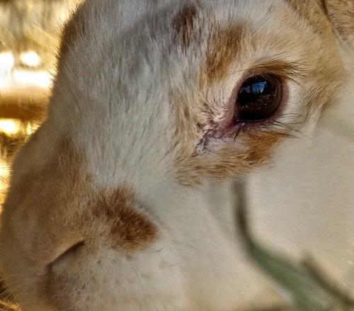 Oeil-de-lapine-naine