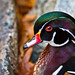 Wood Duck by m_hamad
