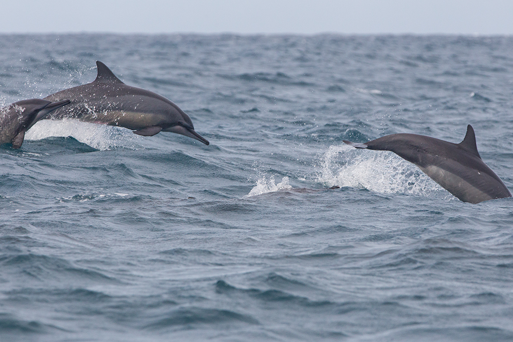 Spinner Dolphin 2013-12-03 (2)