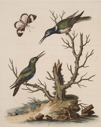 Edwards, 1743, White-bellied Hummingbird