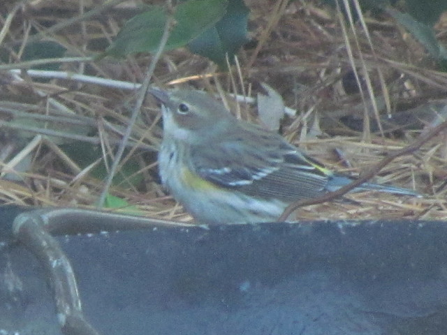Yellow-rumped Warbler1R 1:13:14