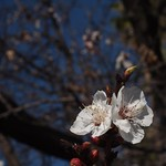 In the neighborhood: Apricot Blossoms - 5