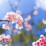 Sakura in Okinawa 冲绳八重樱 Sakura in Okinawa