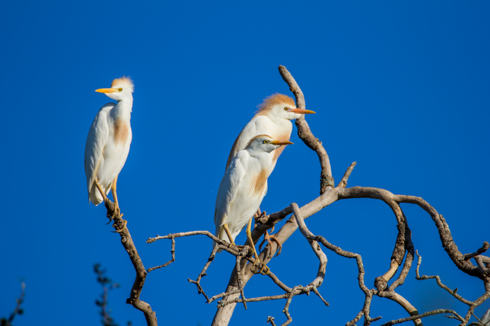 Garcitas bueyeras (Bubulcus ibis) posan en la ramas vestidas con plumaje nupcial. Estas garzas son frecuentes de encontrar cerca del ganado, ya que se alimentan de los insectos que encuentran gracias al pastoreo del ganado. (Tetsu Espósito)