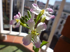 rabanito en flor