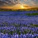 Sea of Texas Bluebonnets by Andrea Garza ~