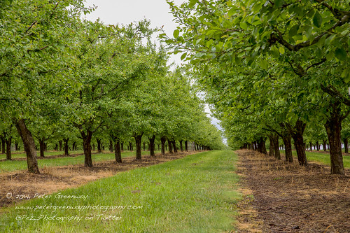 An Orchard Of Plum Trees