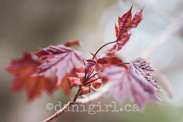 Maples blooming