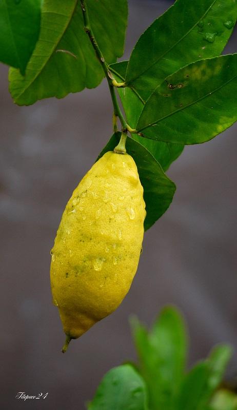 Ah,mon beau citron... 14277429103_41e971a8ab_o