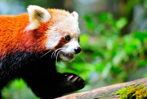 Himalayan Panda Darjeeling Zoo