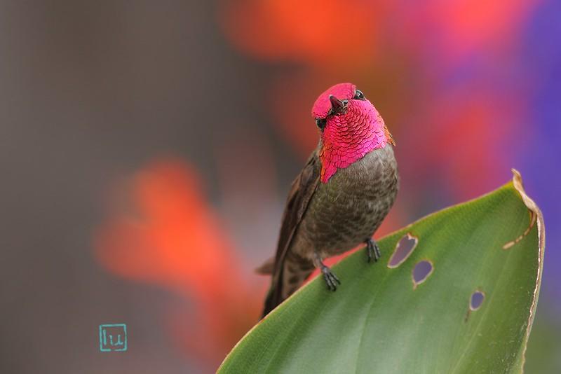 Anna's Hummingbird 110614