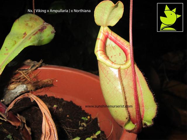 am-mau- cay-an-thit-viking-x-ampullaria-x-northiana