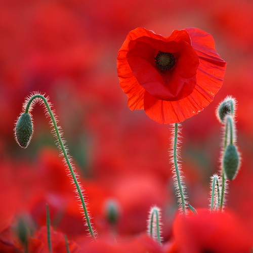 Poppies in the Red Zone
