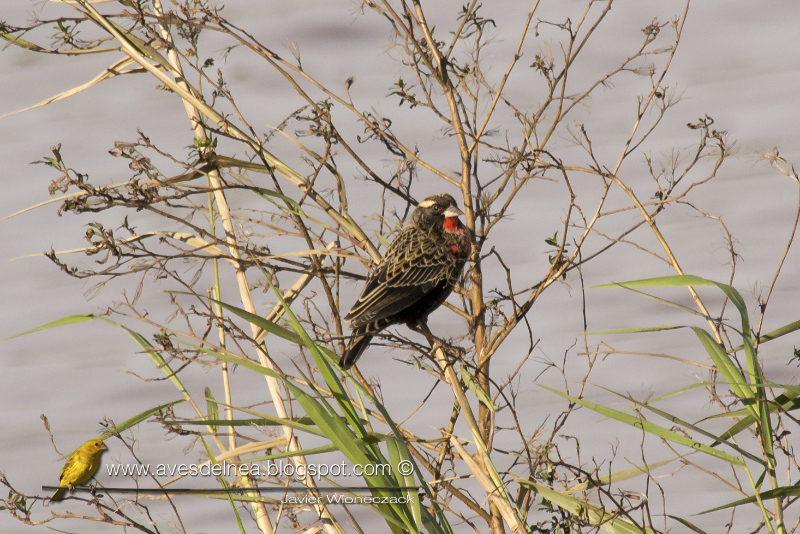 Pecho colorado, White-browed Blackbird, Sturnella superciliaris
