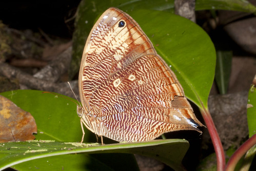 bia suriname tafelberg nymphalidae satyrinae brassolini actorion