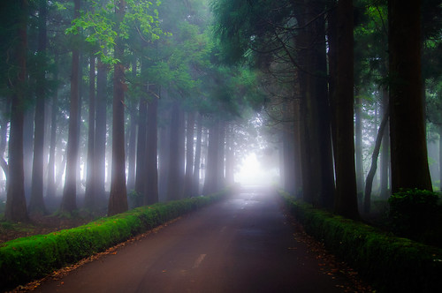 Japanese cedar lined road